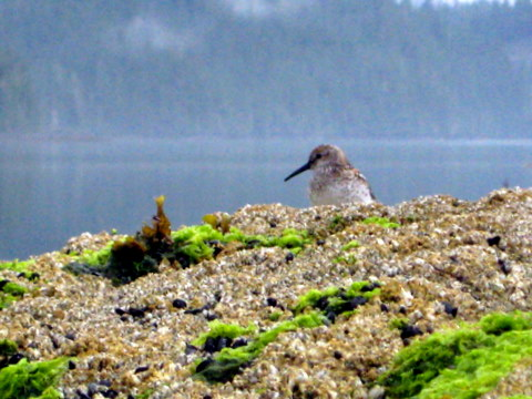 Rebecca snuck up on a Sandpiper